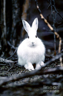 Snowshoe Hare Photograph - Snowshoe Hare by Art Wolfe