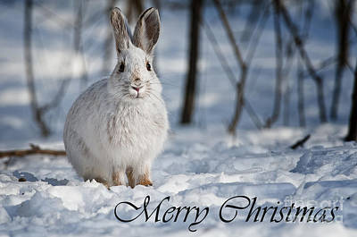 Photograph - Snowshoe Hare Christmas Card 1 by Michael Cummings