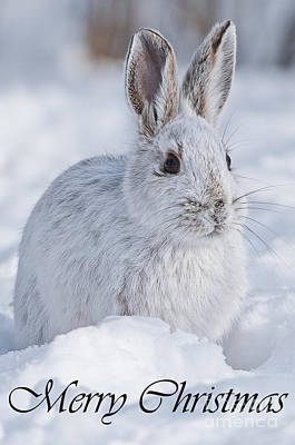 Photograph - Snowshoe Hare Christmas Card 2 by Michael Cummings