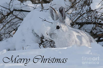 Photograph - Snowshoe Hare Christmas Card 3 by Michael Cummings