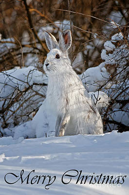 Photograph - Snowshoe Hare Christmas Card 4 by Michael Cummings