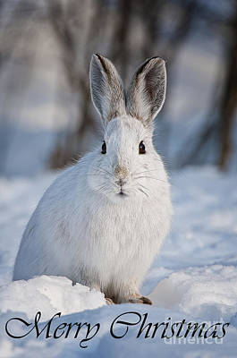 Photograph - Snowshoe Hare Christmas Card 5 by Michael Cummings