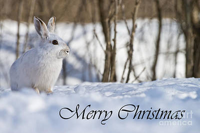 Photograph - Snowshoe Hare Christmas Card 6 by Michael Cummings