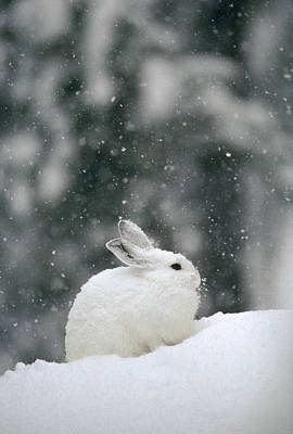 Snowshoe Hare Photograph - Snowshoe Hare In Snowfall Yellowstone by Michael Quinton