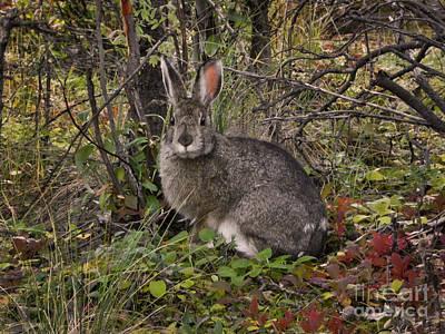Snowshoe Hare Photograph - Snowshoe Hare Lepus Americanus by Ron Sanford