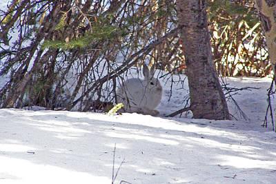 Photograph - Snowshoe Hare On Snow by Thomas Samida