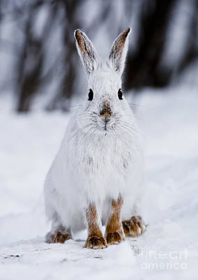 Classical Masterpiece Still Life Paintings - Snowshoe Hare Pictures 66 by World Wildlife Photography