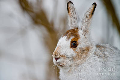 Impressionist Landscapes - Snowshoe Hare Pictures 99 by World Wildlife Photography