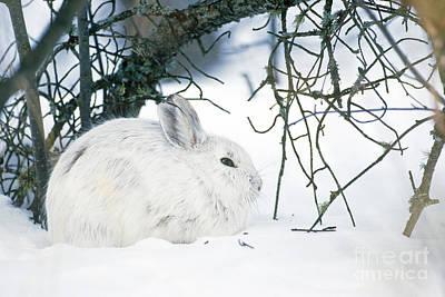 Snowshoe Hare Photograph - Snowshoe Hare by Rod Planck