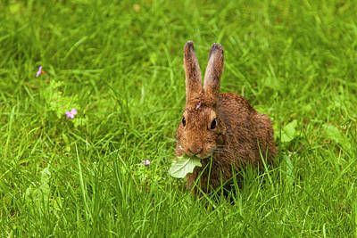 Nibbling Photograph - Snowshoe Hare Summer Phase Browsing by Michael Qualls