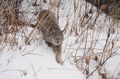 Mammals Photograph - Lynx-snowshoeing by Wildlife Fine Art