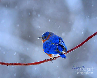 Photograph - Snowy Bluebird by Nava Thompson