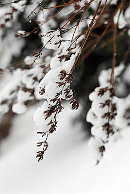White Background Photograph - Snowy Branches by Elena Elisseeva