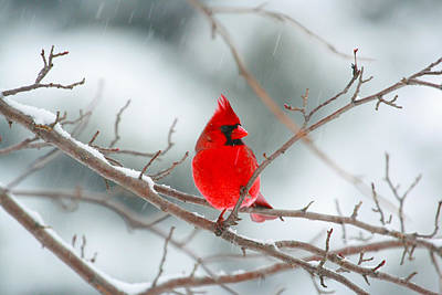 Snowy Cardinal Art Print