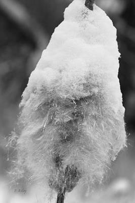 Photograph - Snowy Cattail by Fran Riley