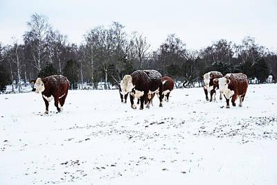 Photograph - Snowy Cattle by Kennerth and Birgitta Kullman