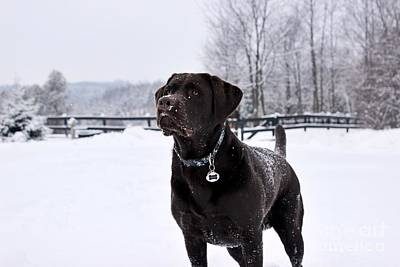 Photograph - Snowy Chocolate Lab by Janice Byer