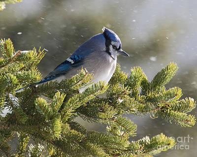 Snowy Day Blue Jay Art Print