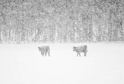 Photograph - Snowy Day Highland Cattle by Cheryl Baxter