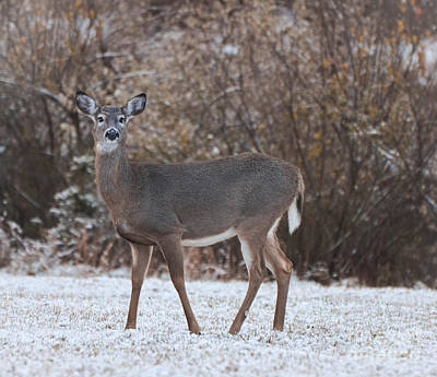 Photograph - Snowy Doe by Amy Porter