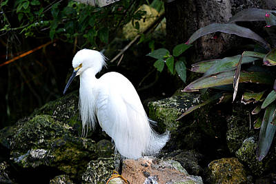 Photograph - Snowy Egret 1  Watercolor by Judy Wanamaker