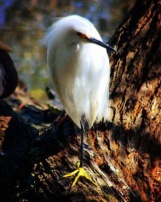 Photograph - Snowy Egret 2 by Timothy Bulone