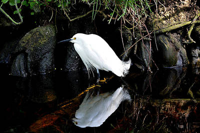 Photograph - Snowy Egret 2  Watercolor by Judy Wanamaker