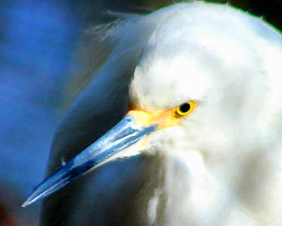 Photograph - Snowy Egret 3 by Timothy Bulone