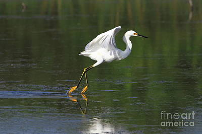 Photograph - Snowy Egret Baiting by Jennifer Zelik