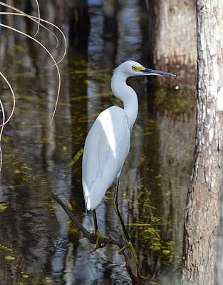 Photograph - Snowy Egret Big Cypress Swamp by rd Erickson
