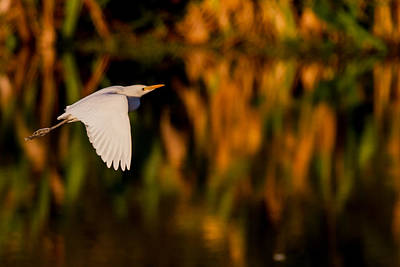 Yellow Photograph - Snowy Egret Climbing Up To The Sky by Andres Leon