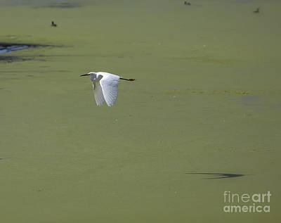 Heron Photograph - Snowy Egret by David Millenheft