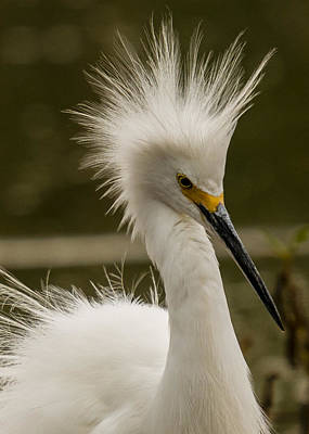 Photograph - Snowy Egret Display by Steve Thompson