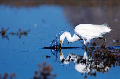 Photograph - Snowy Egret Feeding by Richard Hansen