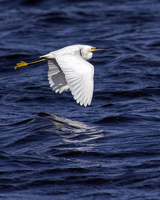 Photograph - Snowy Egret Flight by Alan Raasch