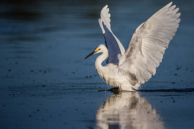 Snowy Egret Frolicking In The Water Art Print
