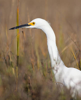 Photograph - Snowy Egret Hunting by Melinda Fawver