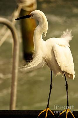 Photograph - Snowy Egret IIi by Rene Triay Photography