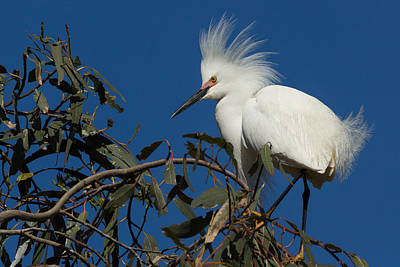 Kathleen Photograph - Snowy Egret In A Eucalyptus Tree by Kathleen Bishop
