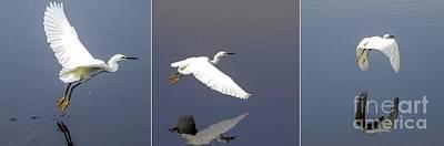 Snowy Egret In Flight Triptych Art Print by Zina Stromberg