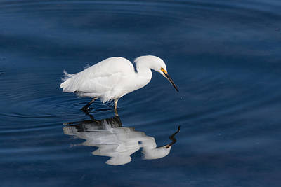 California Wildlife Photograph - Snowy Egret In The Looking Glass by Kathleen Bishop