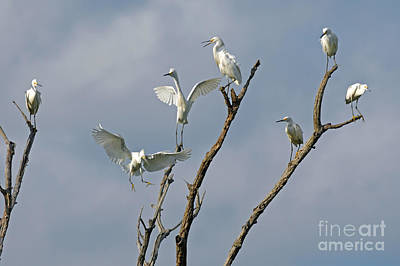 Art Print featuring the photograph Snowy Egret Inn by Olivia Hardwicke