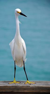 Photograph - Snowy Egret by John Hintz