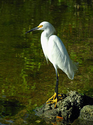 Photograph - Snowy Egret by Juergen Roth