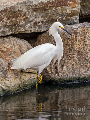 Photograph - Snowy Egret by Kate Brown