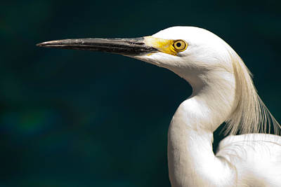 Photograph - Snowy Egret by Kristia Adams
