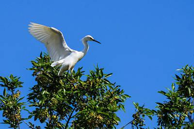 Photograph - Snowy Egret Landing by Debra Martz
