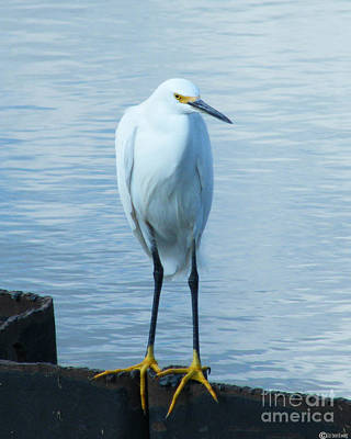 Photograph - Snowy Egret by Lizi Beard-Ward
