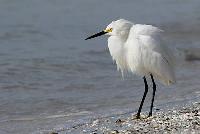 Photograph - Snowy Egret by Meg Rousher