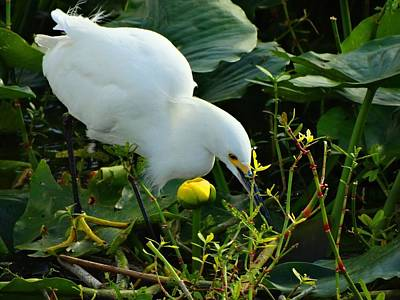 Snowy Egret On The Hunt Art Print by Pat Neely Stewart